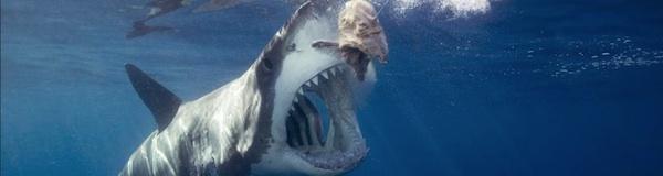 Dans la mare aux requins !